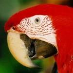 guacamayo-tropical