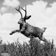 phaune-7_jaunty-jackalope